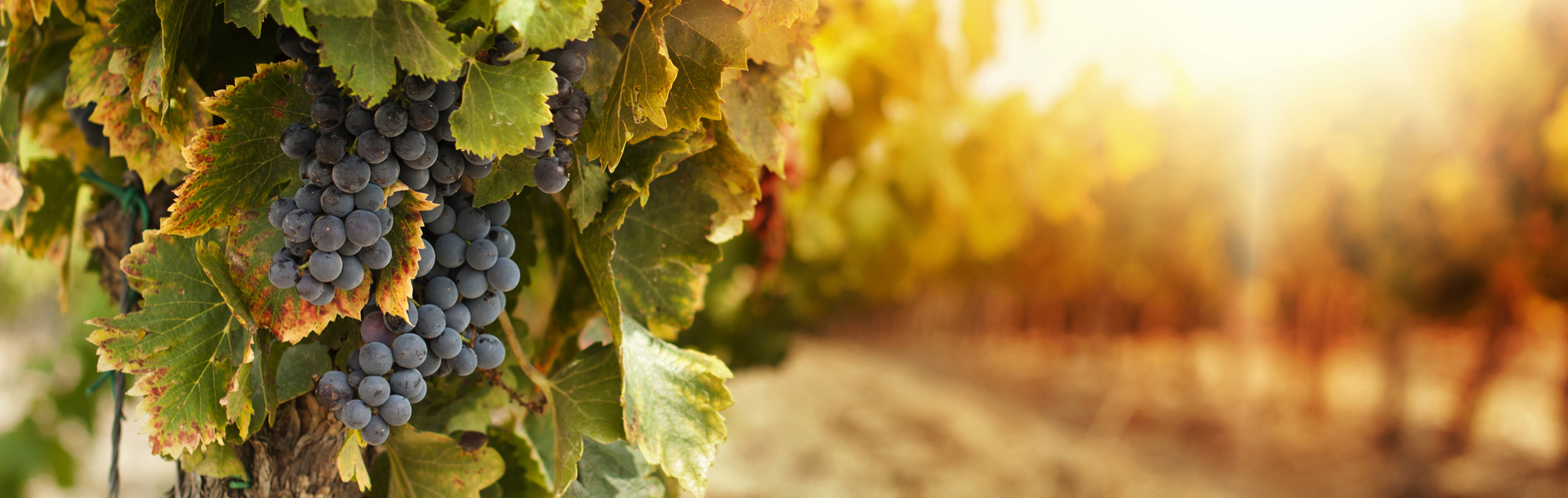 grapes-for-wine-story-hi-res